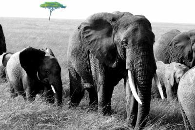 Masai Mara - Elephant family with Acacia tree