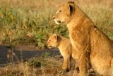 Masai Mara - Mummy lion with baby