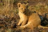 Masai Mara - baby lion