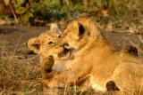 Masai Mara - Baby lions playing