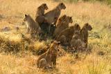 Masai Mara - Lion family on the lookout