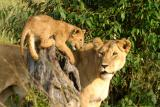 Masai Mara - Baby Lion playing