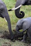 Masai Mara - Elephant family eating salt