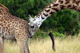 Masai Mara - YUK