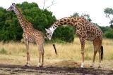 Masai Mara - err... what's he doing with his tongue?