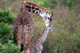 Masai Mara - Baby Giraffe... just born