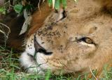 Masai Mara - I would say there's no flies on him, but that wld be a lie!