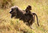 Masai Mara - Mummy baboon with baby