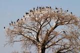 Lake Malawi - White breasted Cormorants