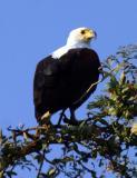 Lower Zambezi - Fish eagle