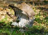 South Luangwa - Baby Sparrowhawk