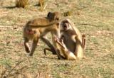 South Luangwa - baboons fighting