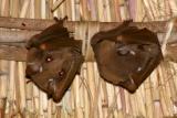 South Luangwa - Bats