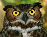 I said Horned Owl!   LOL