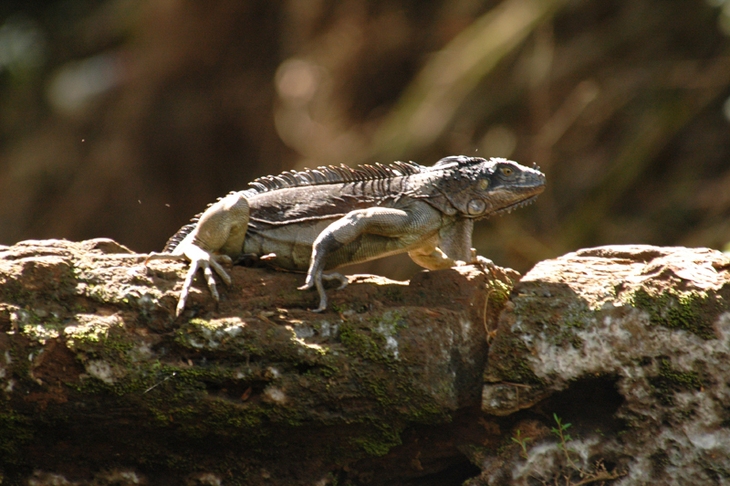 Iguana, riverside