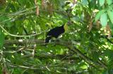Chesnut-mandibled Toucan