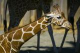 Reticulated Giraffe Kneeling.jpg