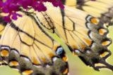 8/1/05 - Eastern Tiger Swallowtail