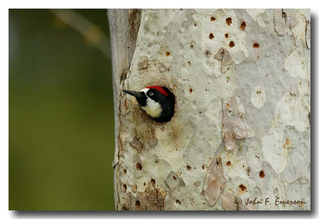 Acorn Woodpecker, Male