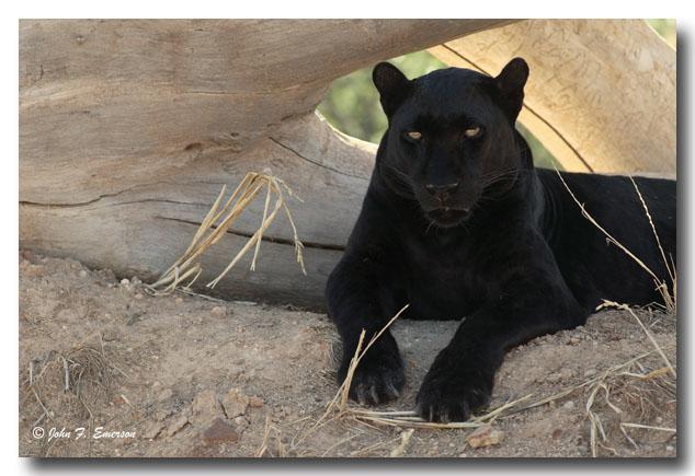 Black Leopard (C)