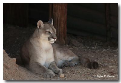 Mountain Lion (C)