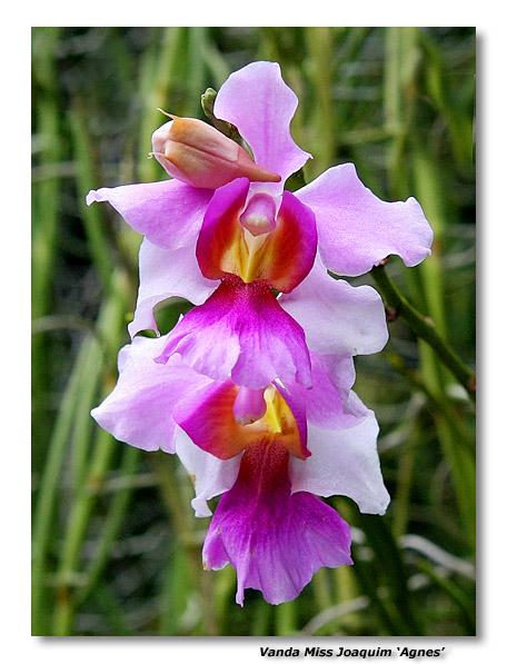 Orchid 1. Vanda Miss Joaquim Agnes