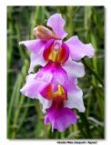 Orchid 1. Vanda Miss Joaquim 'Agnes'