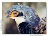 Bornean Peacock Pheasant