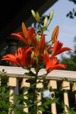 lily 002.jpg