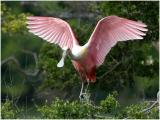 Roseate Spoonbill - Smith Oak Farm Rookery