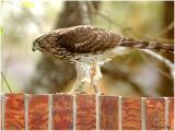 by132_21_Coopers-Hawk.jpg