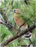 by132_39_Red-shouldered-Hawk.jpg