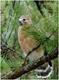 by132_41_Red-shouldered-Hawk.jpg
