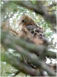 by132_43_Red-shouldered-Hawk.jpg