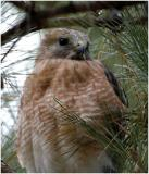 by132_47_Red-shouldered-Hawk.jpg