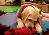 Labrador Retriever Doggy DouDou was a kiddie doggy