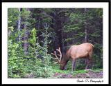 Feeding Bull Elk...