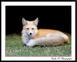 Resting Fox...