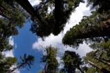 Giant Sequoias Reach the Sky