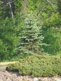 Lonely pine.jpg(181)