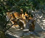 Tiger Drink
