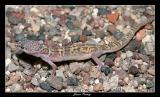 Tucson Banded Gecko