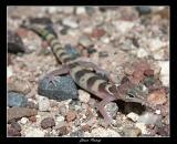 Juv. Tucson Banded Gecko