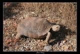 Desert Tortoise (Gopherus agassizii)