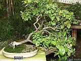 Phipps Conservatory 2005 Bonsai Exhibit