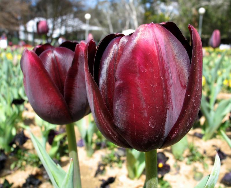 Tulip Macro shot