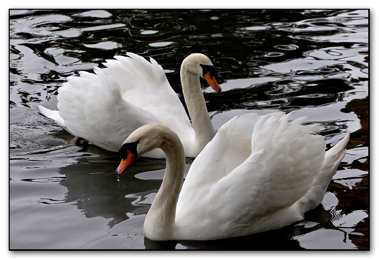 a trumpet of swans<br>::not for voting::