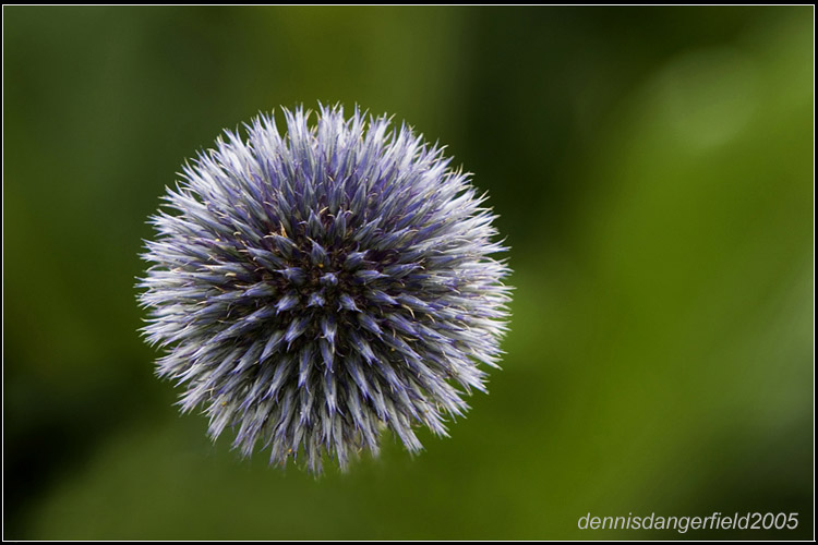 A Catch of Thistles