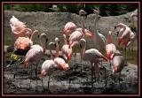 A Stand of Flamingos *