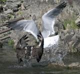 an afoul of fowl  *